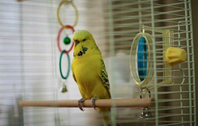 budgie-in-cage