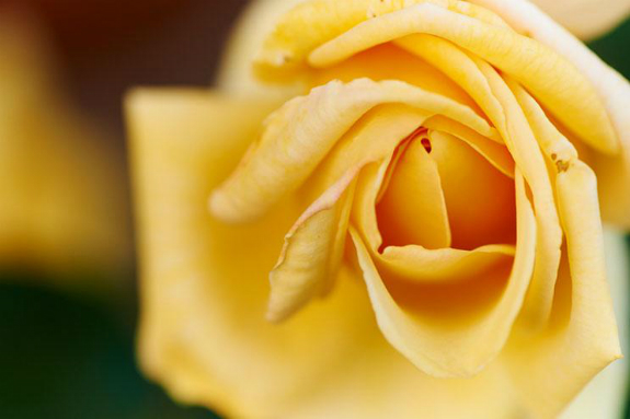 yellow rose close-up