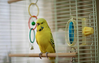 Budgie In Cage