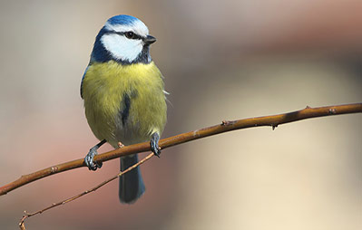 blue-tit-on-branch-feat