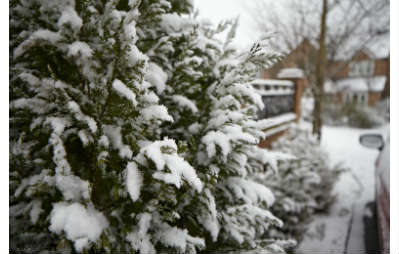 conifers with snow