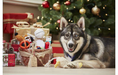 husky under christmas tree