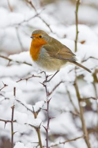 Robin Christmas December